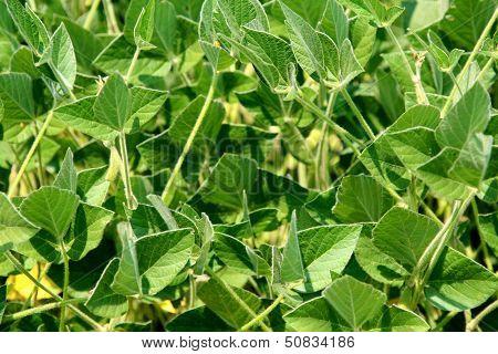 Soy plants in garden