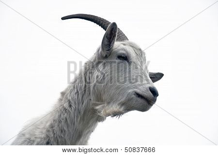 Portrait Of Goat On A White Background