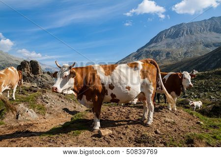 Cows on the Alpine meadows in sunny day poster
