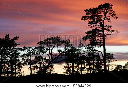Pines in the sunset