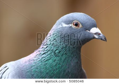 a beautiful grey pigeon looking friendly in the camera poster
