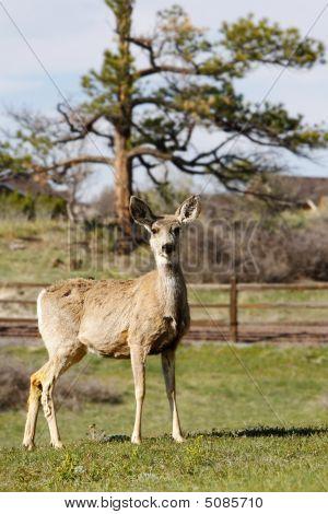 Mule Deer On Country Property