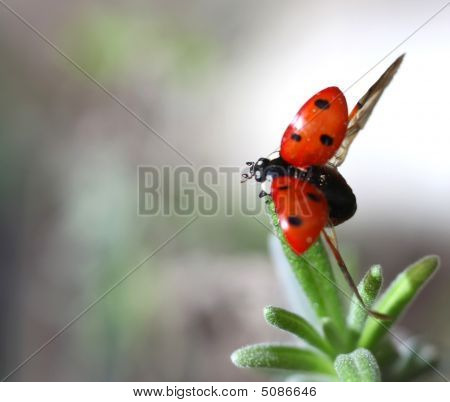 Macro photo of a seven-spot ladybird (or ladybug) Coccinella septempunctata taking off from a lavender leaf poster
