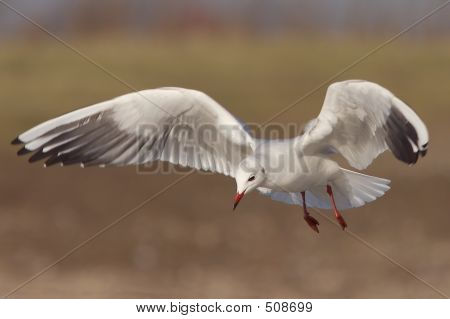 Seagull In Flight 3