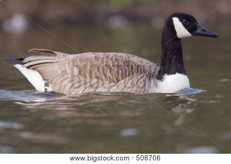Canadian Goose In The Water