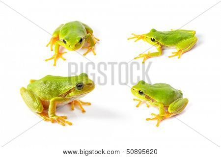 Green tree frogs close up over white background poster