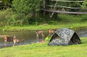 Tent in a wild campsite with deers all around, Khao Yai national park, Thailand poster