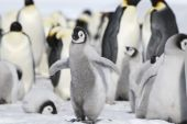 Emperor penguins on the sea ice in the Weddell Sea Antarctica poster