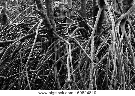 Black And White Photo Of Mangrove Roots In Phetchaburi, Thailand