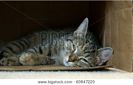 A  Tired Kitty Takes A Nap Inside A Cardboard Box