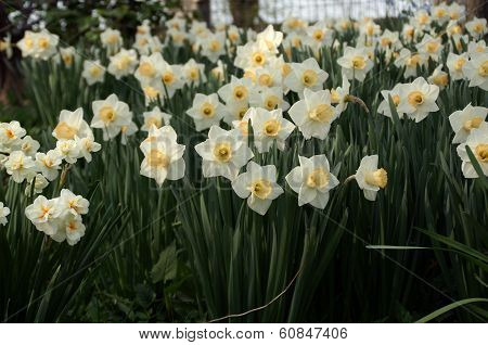 White And Yellow Daffodil Flowers In Central Park