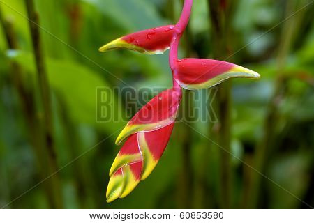 A Lobster Claw Caribbean Flower Of Red And Yellow