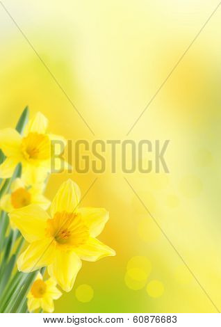 Background With Daffodils