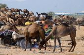 arabian dromedary camels taking part at famous cattle fair holiday in sacred hindu town of Pushkar inThar desert , Rajasthan India poster