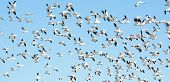 Flock of snow geese in flight, Migration. Blue sky background. poster
