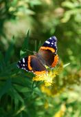 Photo of Red Admiral butterfly (Vanessa atalanta) on flower, ready to fly away poster