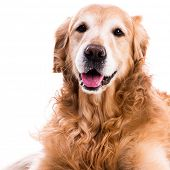 purebred golden retriever dog close-up   isolated on white poster