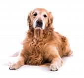 A golden retriever dog laying down over white poster