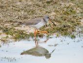 Common Redshank Tringa totanus wading and feeding on the water edge poster