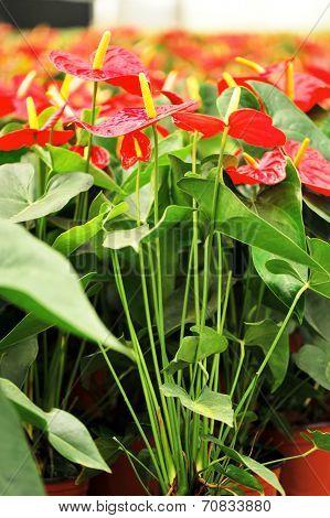 red anthurium flower in botanic garden (anthurium andraeanum, araceae orarum)