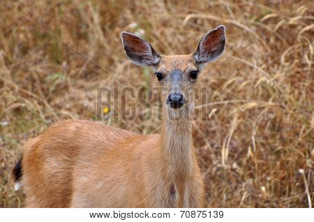 Deer Looking