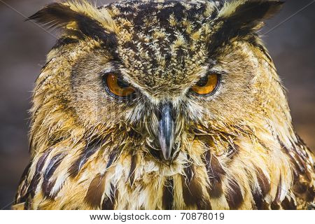 raptor, beautiful owl with intense eyes and beautiful plumage poster