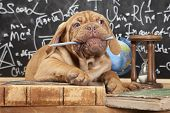French Mastiff puppy chewing a pencil in front of blackboard poster