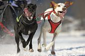 front view at two alaskan malamute at race in winter poster