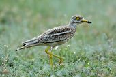 Burhinus oedicnemus (Eurasian Thick-knee, Eurasian Stone-curlew , Stone Curlew ) in natural habitat poster
