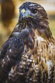 eagle, diurnal bird of prey with beautiful plumage and yellow beak poster