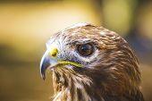 fauna, eagle, diurnal bird of prey with beautiful plumage and yellow beak poster