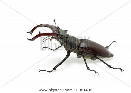 Crawling male stag beetle (Lucanus cervus) isolated on the white background poster