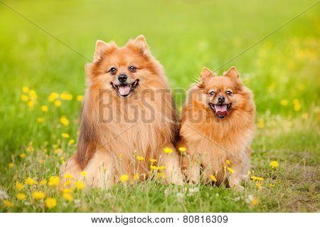Two Pomeranian Dog In Summer