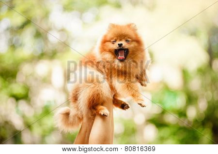Cute Pomeranian Puppy Yawns In The Hands