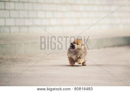 Pomeranian Spitz Puppy Walking