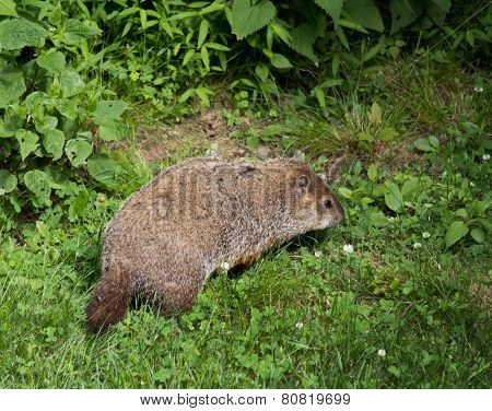 Woodchuck eating weeds in the wilderness