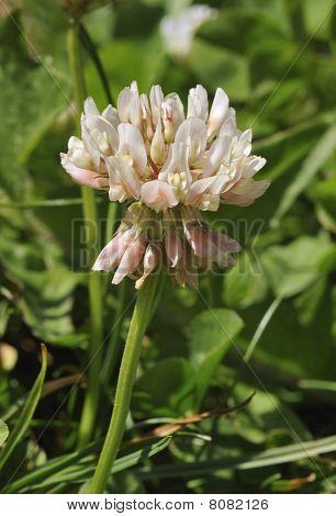White Clover Flower - Trifolium repens