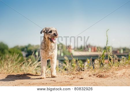 Purebred Curly Red And White Dog In Summer