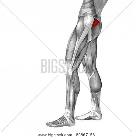 Concept or conceptual 3D gluteus medius and minimus human upper leg anatomy or anatomical and muscle isolated on white background poster
