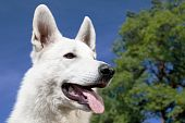 White Swiss Shepherd portrait over blue sky background poster