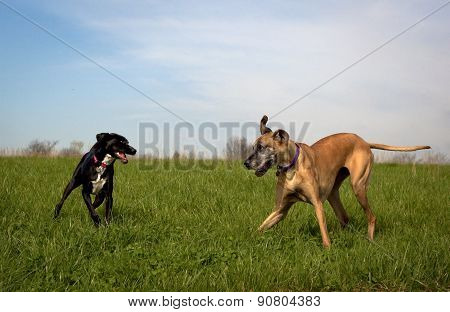 Great Dane playing with black dog