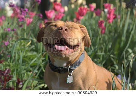 Big Smiles from a Pit Bull