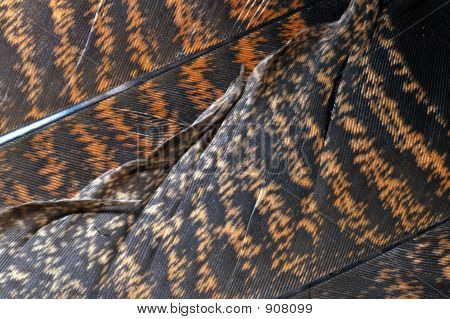 a closeup of a pair of turkey feathers for a background poster