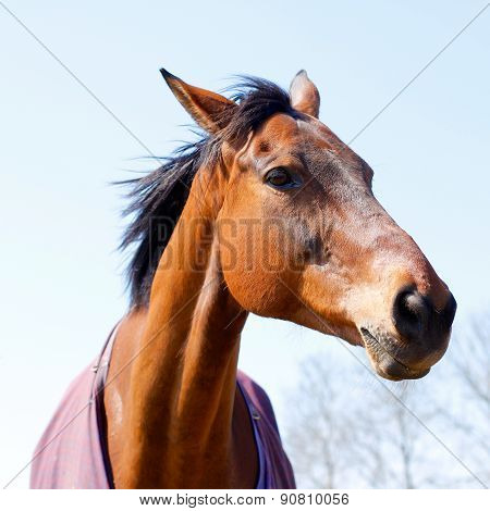 Elegant Chestnut Or Bay Horse Head