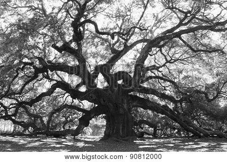 Angle Oak Tree