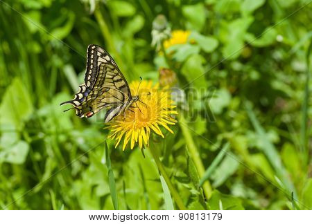 Old World Swallowtail butterfly sucking dandelion nectar at spring season
