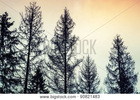 Tall Old Spruce Trees, Black Silhouettes Over Cloudy Sky