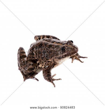 Marsh Frog on white, Pelophylax ridibundus