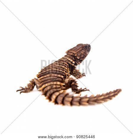 The armadillo girdled lizard on white