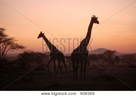 Giraffe At African Sunset